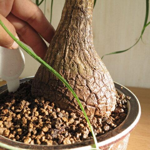 ポニーテールトックリラン ノリナポニーテール   贈り物に 人気の観葉植物