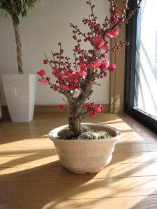 梅盆栽盆栽 香りと花の贈り物香りもお花も楽しめる 豪快に咲く紅梅