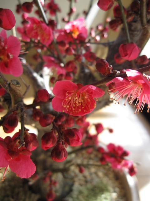 梅盆栽2019年2月〜3月に開花 香りと花の贈り物香りもお花も楽しめる 豪快に咲く紅梅