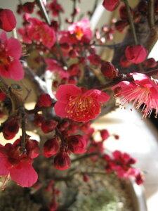 父の日ギフトお祝い梅盆栽2021年3月に開花 香りと花の贈り物香りもお花も楽しめる 豪快に咲く紅梅