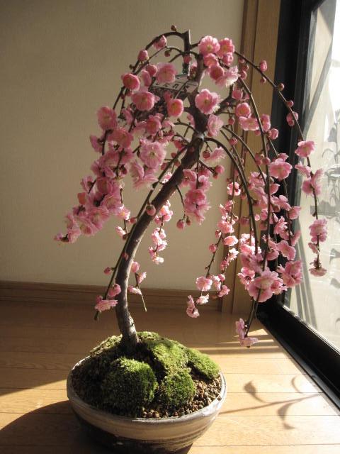しだれ梅盆栽2019年3月頃開花予定しだれ梅梅盆栽盆栽しだれ梅盆栽八重しだれ梅庭植えにも使用できるしだれ梅 人気のしだれ梅信楽鉢入り鉢花