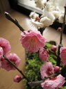 梅盆栽 2021年2月頃に香りと花の贈り物【盆栽】信楽焼き入り紅梅盆栽と白梅盆栽の寄せ植え盆栽