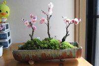 梅盆栽三種寄せ植え梅盆栽【盆栽】信楽焼き入り梅盆栽