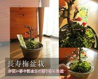 長寿梅盆栽【長寿梅】ボンサイ縁起の良い長寿梅プレゼンにも最適ミニ盆栽