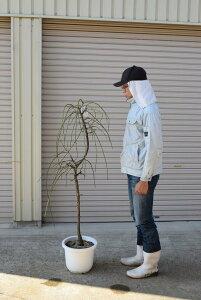 2021年3月頃開花白しだれ梅苗しだれ梅八重咲き白しだれ梅樹高さ 1.5m前後   枝垂れ梅 シダレ梅 庭木 送料無料花が咲いた姿が楽しみなしだれ梅