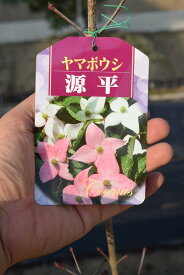 咲き分け源平ヤマボウシ苗山法師 シンボルツリー 源平ヤマボウシ2021年花芽確認の苗です