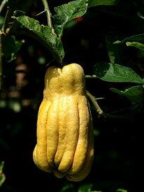 仏手柑ブッシュカン庭木