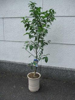 水果樹盆栽 shikuwasa