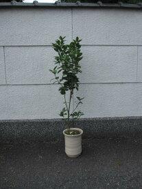 きんかん果樹鉢植え金柑