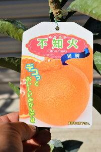 デコポン苗 みかんの木不知火苗 柑橘苗 ビタミンCは 免疫力アップ ト 収穫は1月〜2月頃です