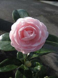2021年3月〜4月に開花つばき鉢花ツバキ古典椿乙女椿鉢植え椿