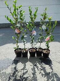5種類のサザンカ苗 送料無料 【山茶花】サザンカ苗 いろんなお花のサザンカ
