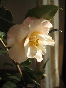【庭木】 【ツバキ】古典椿 梅ヶ香椿 花に香りのある椿です。