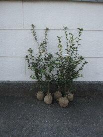 サザンカ 大きめ 生垣タイプサザンカ送料無料いろんな山茶花のお花がお楽しみ苗セット 五種類サザンカ苗をお届けいたします。  【庭木】 【山茶花】サザンカ苗