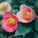 咲き分け椿椿尾張五色椿ツバキ苗