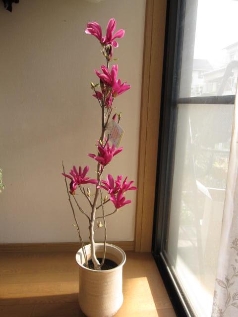 ガールマグノリア 鉢植え