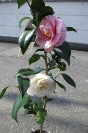 高級 庭木椿の仲間・七曜変化とても稀少なお花です。
