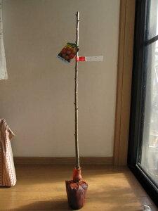 【庭木】 【果樹】【サクランボ】 佐藤錦さくらんぼ