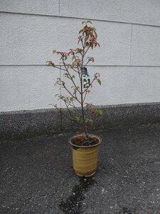 2021年開花ヤマボウシシンボルツリー 【鉢植え】 ホンコンエンシス  月光