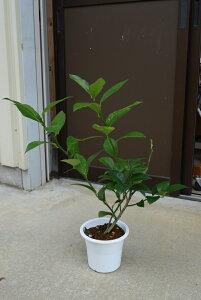 育てるれもんの木レモン苗  レモンの木 プラ鉢 果樹のレモンを楽しむ 収穫ができます檸檬