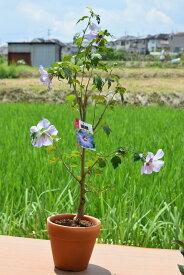 鉢植えムクゲ ブルーバード2021年7月頃開花 ブルー色に咲くムクゲです。