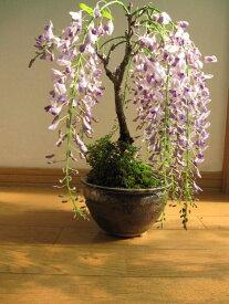 お誕生日プレゼントに藤と桜寄せ植え盆栽信楽鉢入り  4月に藤のお花が楽しめます