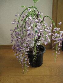 【藤 苗木】 プラ鉢 フジ 一才藤 2021年4月初め開花4月20日以降のお届けは 清涼感のある葉藤  鉢植えで育てる事ができます
