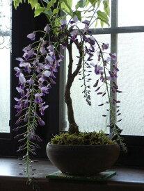 今季開花が終了しており、葉藤でのお届けになりますかわいいサイズのおすすめ藤盆栽となります藤盆栽信楽焼鉢植え盆栽【藤】