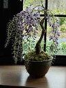 2020年敬老の日に開花を楽しみに育てる4月に開花藤盆栽お誕生日プレゼント用花ギフトにもおススメギフト藤盆栽盆栽藤…