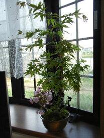 お中元に  盆栽【もみじ】と【桜】【寄せ植え】 【盆栽】【GWポイントアップ西日本インテ】