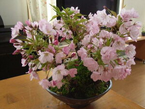 桜盆栽2014年盆栽:桜の盛り合わせ:【送料無料】海外でもBONSAIボンサイと言います。桜盆栽