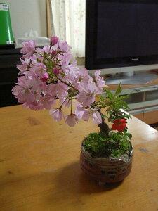 盆栽:桜長寿梅の寄せ植え