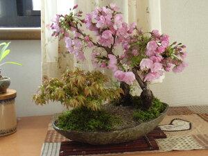 新春盆栽【盆栽】桜ともみじの寄せ植え送料無料