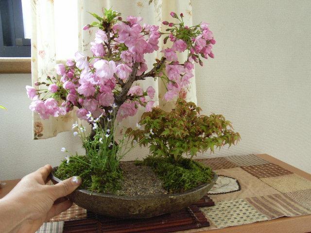 桜盆栽2019年 4月に桜は開花します。ギフト盆栽 お祝いの【盆栽】桜ともみじの寄せ植え お花見がてせきる桜盆栽となります。送料無料
