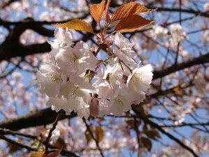 桜の苗 【手羽女桜 】桜庭木