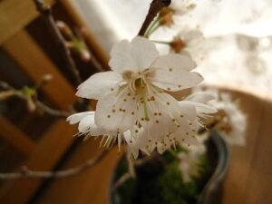 盆栽さくらんぼサクランボ鉢植え 2021年開花後4月頃には赤い実がなります