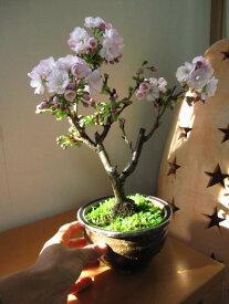 2019年開花予定八重 【盆栽】桜盆栽  盆栽 さくらの開花は四月頃に開花します。