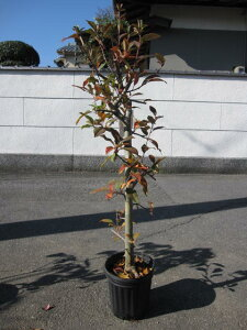 植樹用に2021年4月に開花の【花海棠桜 】しっかりとしたハナカイドウ苗 花海棠苗 接ぎ木3年物