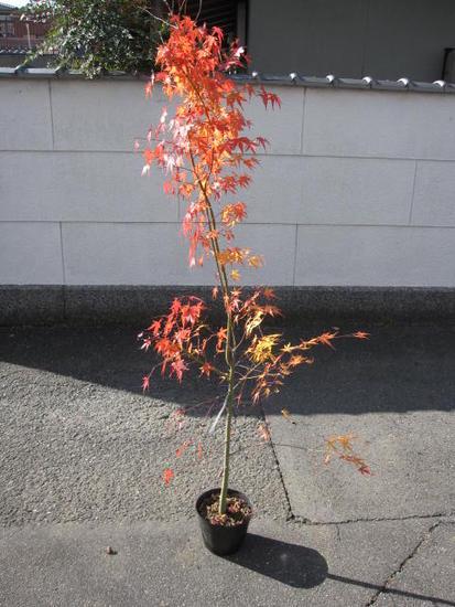 紅葉といえばイロハモミジ苗もみじ 山もみじ 【もみじ苗】 【庭木】【紅葉】 高さ 約1.5M