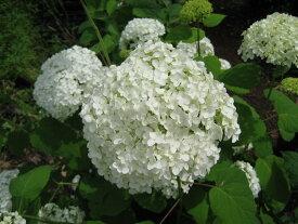 アジサイアナベル苗あじさい白アナベル アジサイお買い得アジサイ大苗5本セット2019年4月お届け時 30センチですが 6月には開花するアナベル苗でのお届けとなります