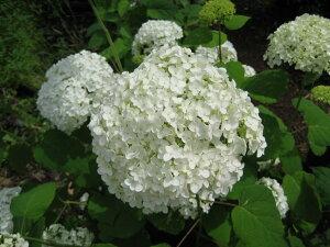 2021年母の日ギフトにアナベル開花見込みの5本セットのアジサイアナベル苗あじさい白アナベル アジサイお買い得アジサイ大苗5本セット7月以降のお届けは開花が終了しており、剪定した状