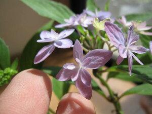 ヤマアジサイ:石鎚の光 紫陽花小苗開花終了剪定後の状態でお届けとなります