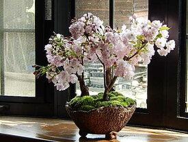 お祝い桜盆栽2021年4月中頃開花サクラ盆栽桜の盛り合わせさくら盆栽で自宅でお花見