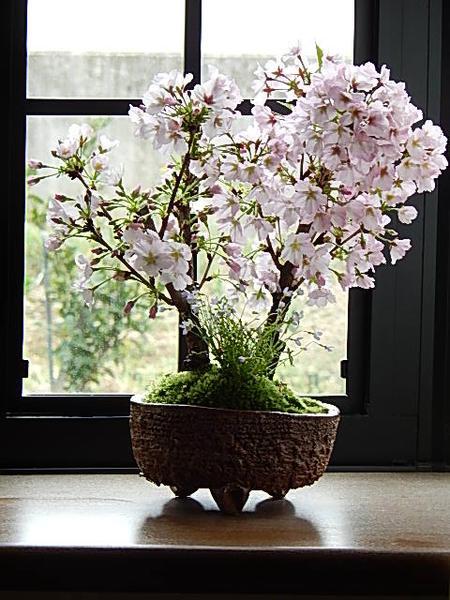2018年4月中頃開花予定八重ツイン盆栽桜盆栽信楽鉢入り 旭山桜盆栽自宅でお花見ができます