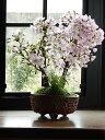 2019年4月中頃開花予定八重ツイン盆栽桜盆栽信楽鉢入り 旭山桜盆栽自宅でお花見ができます