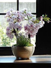 プレゼントにさくら盆栽2020年4月中頃に開花のさくら盆栽です桜盆栽ツイン桜盆栽信楽鉢入り 桜盆栽と山野草雛桜の盆栽お届けは手頃にお花見ができる桜盆栽となります。