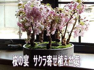 桜盆栽お花見ができるさくら盆栽八重桜盆栽【楽ギフ_包装選択】【楽ギフ_メッセ】レビュー記入で送料無料