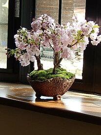 さくら盆栽2021年4月に桜の満開のお花見が楽しめる桜盆栽サクラ盆栽桜の盛り合わせお祝いの贈り物 桜 盆栽【プレゼントに鉢植え桜】【さくら盆栽】盆栽