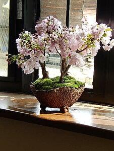 新春盆栽2019年4月に桜の満開のお花見が楽しめる桜盆栽サクラ盆栽桜の盛り合わせお祝いの贈り物桜盆栽【ぼんさいボンサイ】【さくら盆栽】盆栽