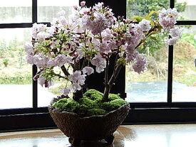 自宅でさくらのお花見でお祝いの贈り物にピッタリ桜盆栽でお祝い2021年4月開花 お花見サクラ盆栽桜の盛り合わせ桜盆栽自宅でお花見可能な桜盆栽となります。ちなみに海外でも BONSAI ボンサイと言います。